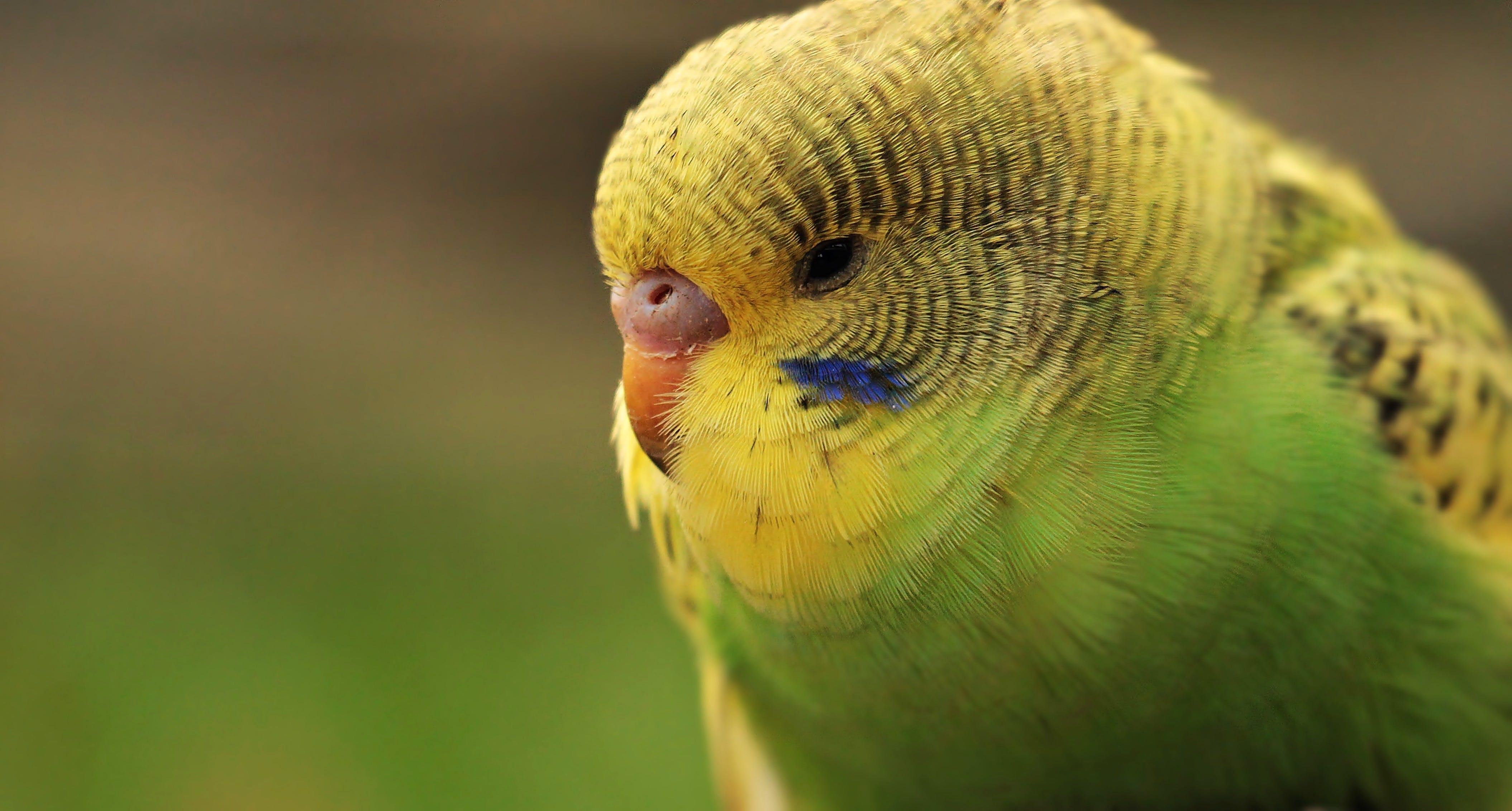 Free stock photo of bird, yellow, animal, cute