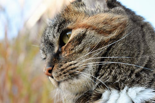Close-up Photo of Brown Tabby Cat's Face