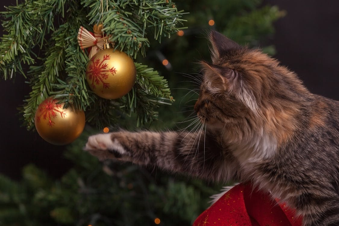 Brown Cat About to Touch Gold Christmas Bauble