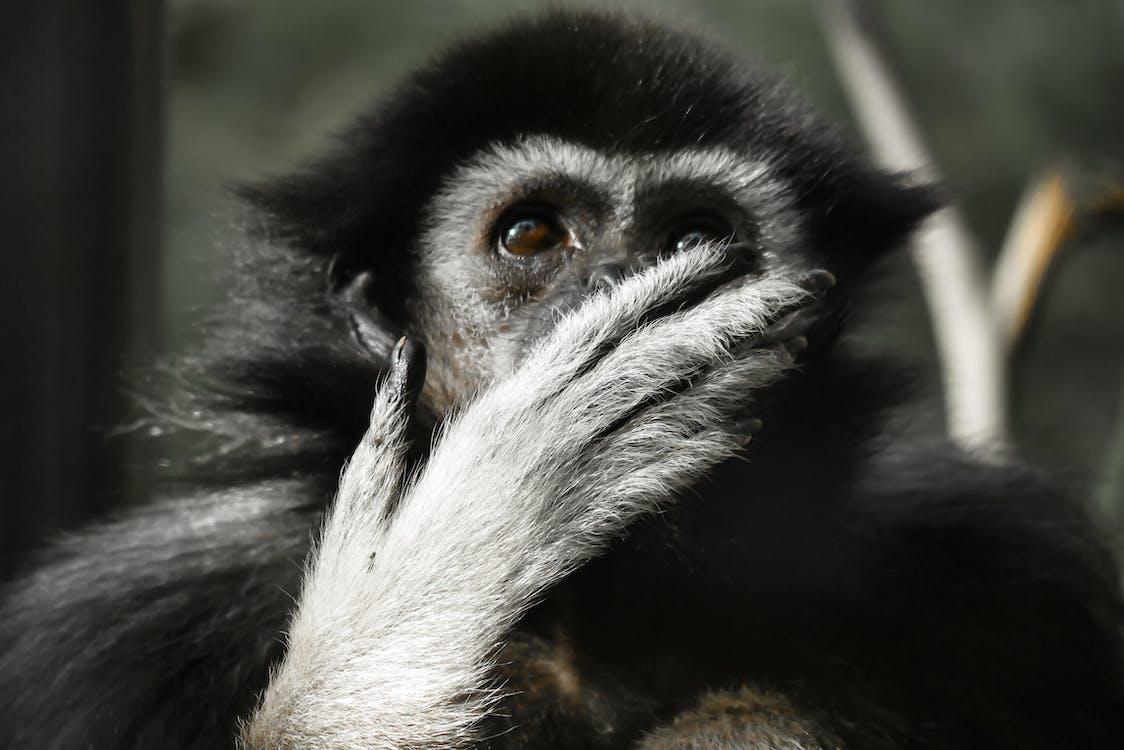 귀여운, 긴팔 원숭이, 동물