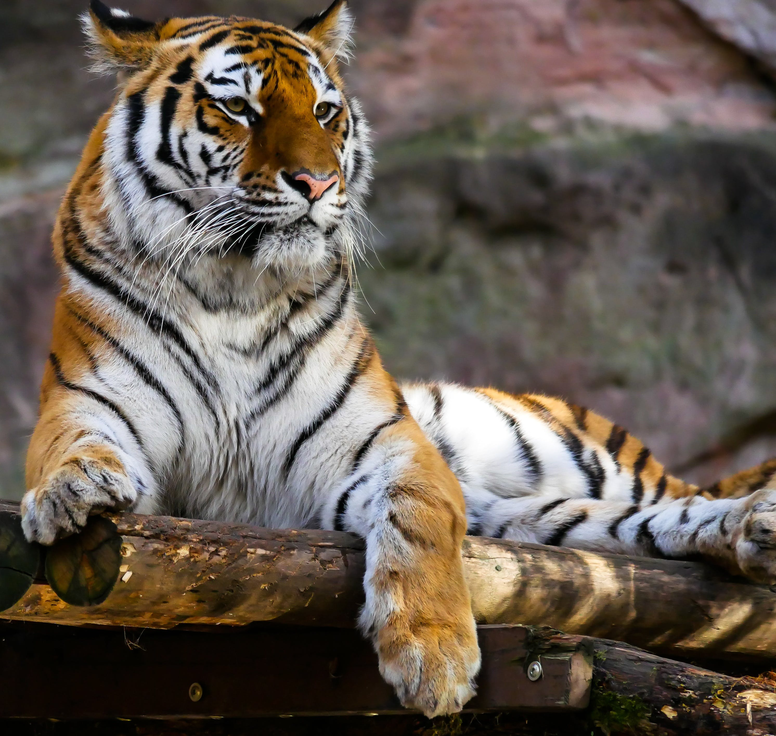 Nature wallpaper of nature, animal, tiger, safari