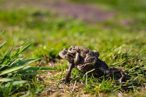 Immagine gratuita di anfibi, animali, erba, macinato