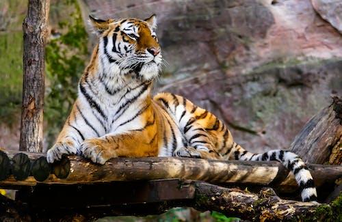 Δωρεάν στοκ φωτογραφιών με άγρια γάτα, άγρια φύση, άγριο ζώο, ζούγκλα