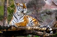 animal, tiger, jungle