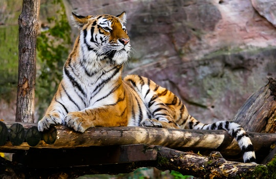 Free stock photo of animal, tiger, jungle, safari