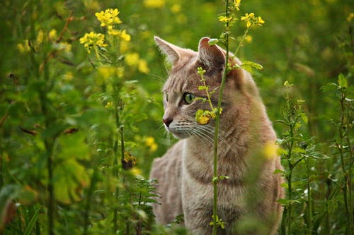 Orange Tabby Cat Beside Yellow Rapeseed Flowers
