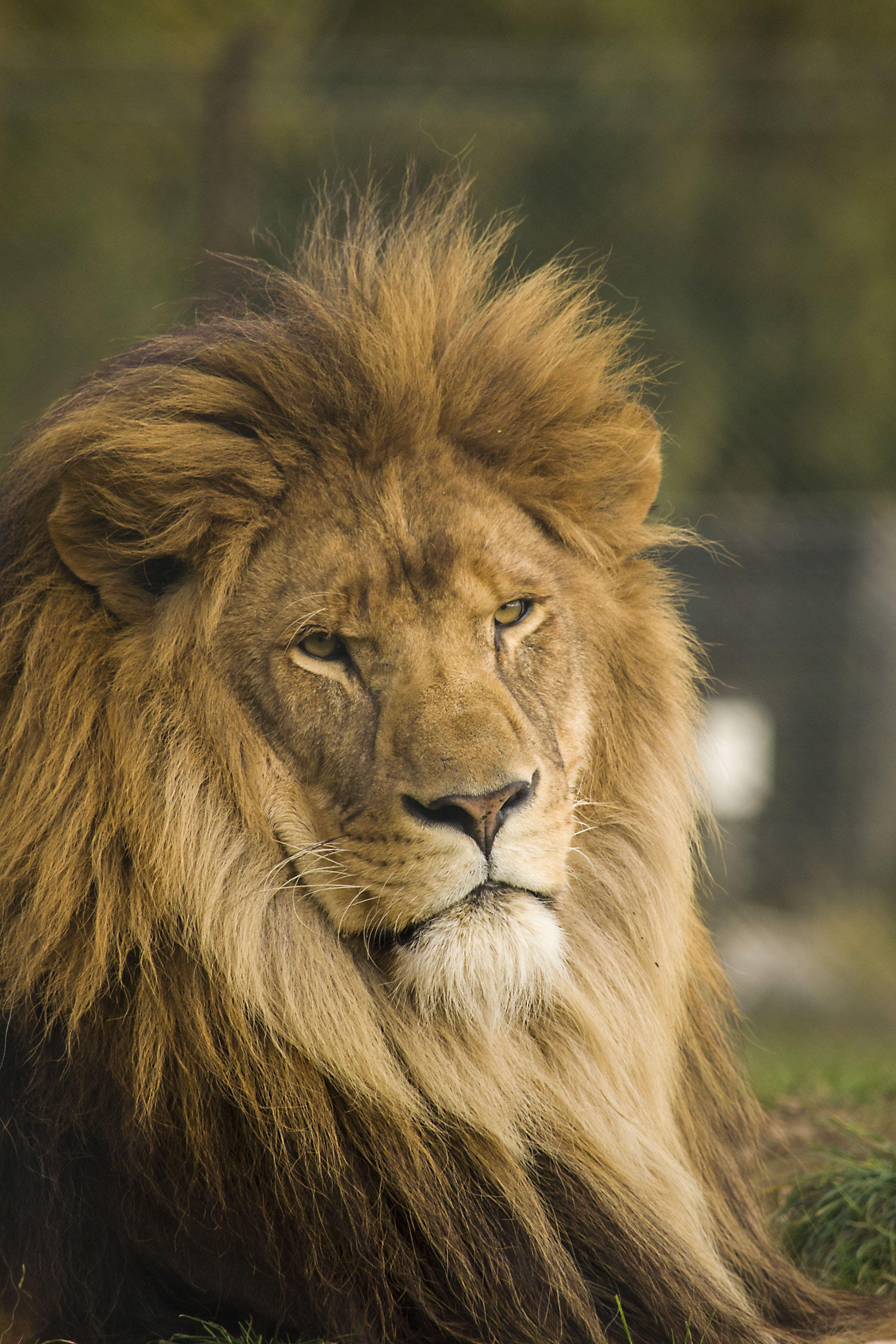Free stock photo of power, lion, mane, cat