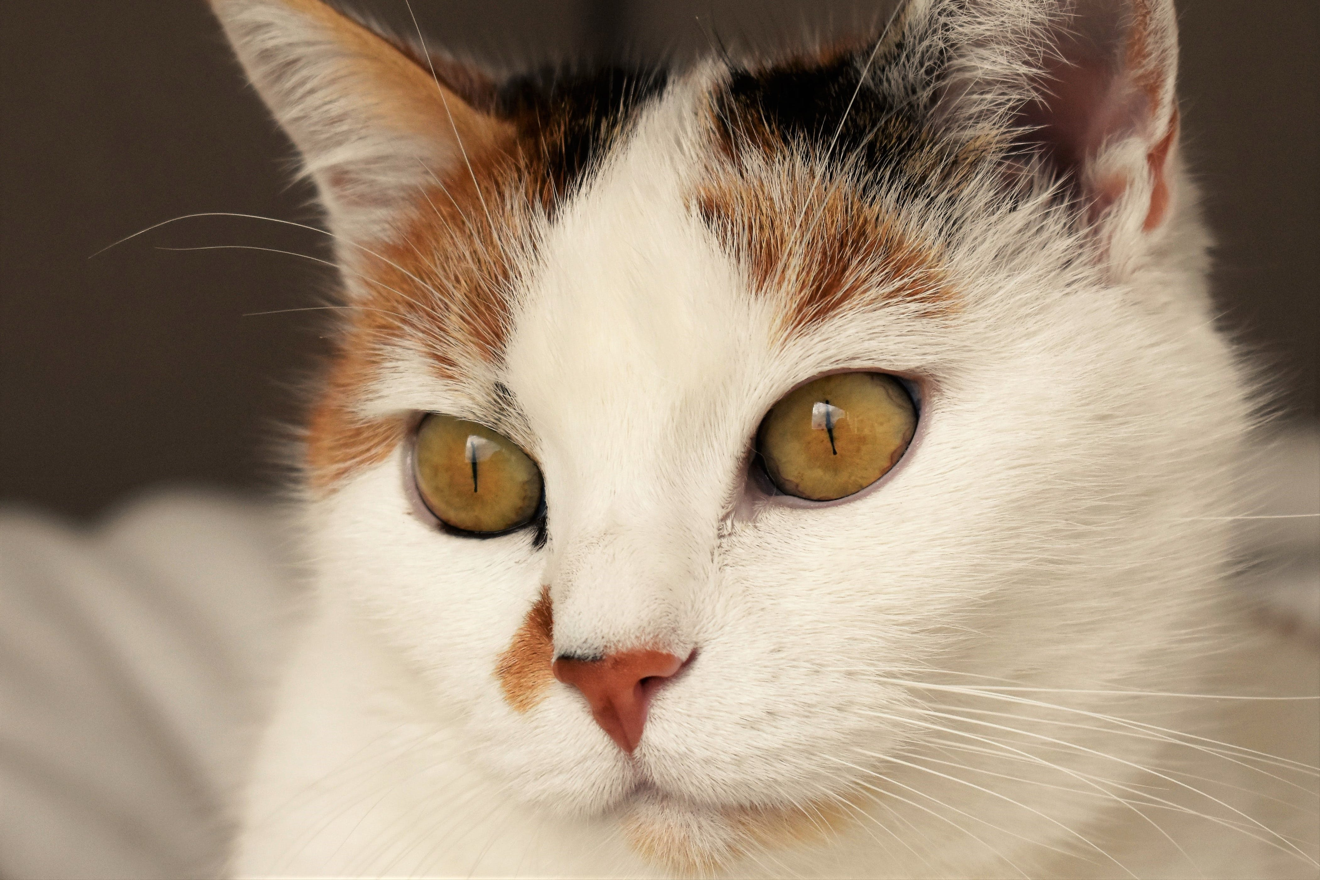 Close Up Photo of White, Black, and Brown Cat