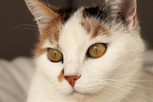 Základová fotografie zdarma na téma domácí mazlíček, kočka, kočkovití, roztomilý