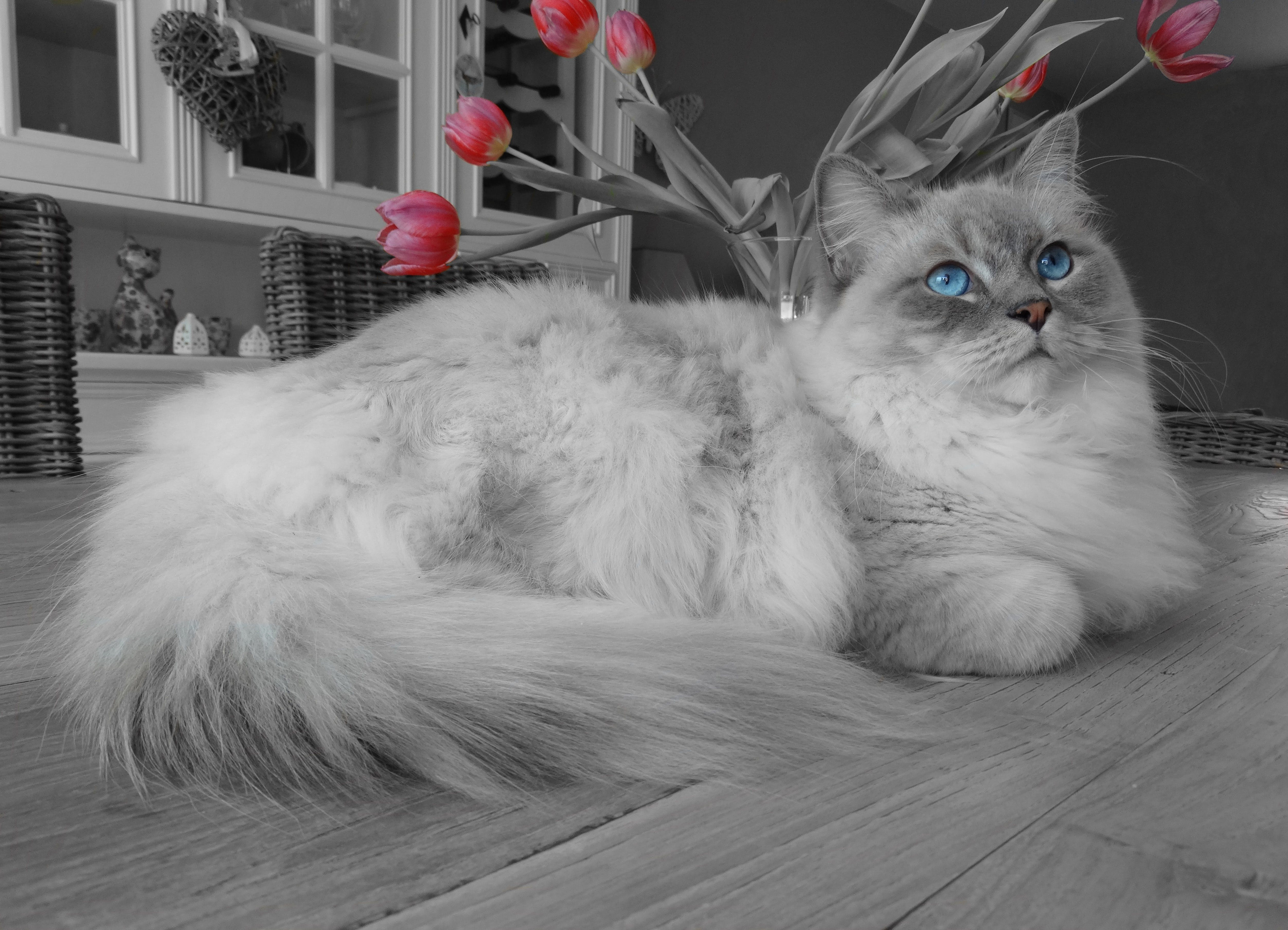 Silver Persian Cat on Floor