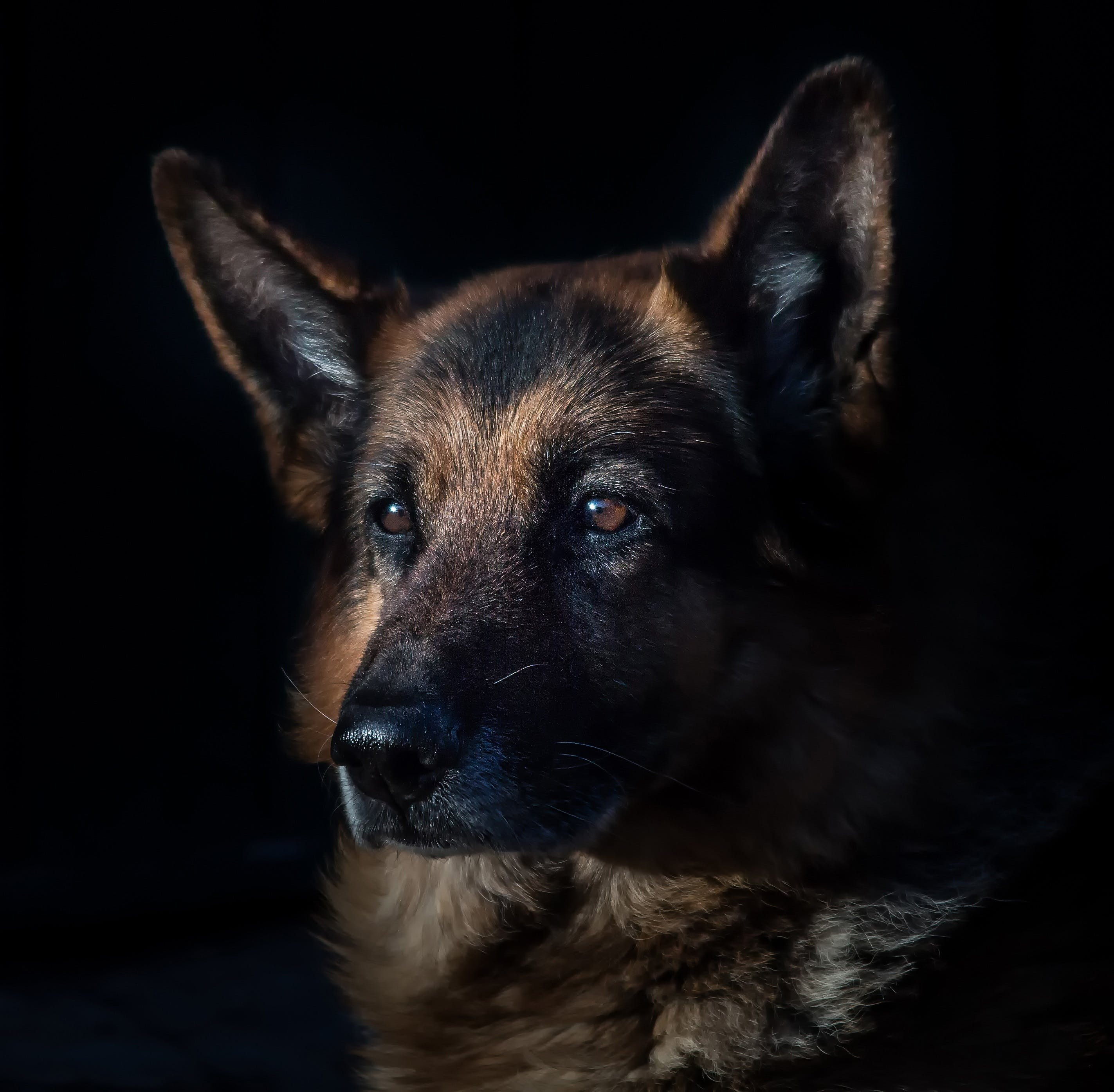 Adult Black and Tan German Shepherd