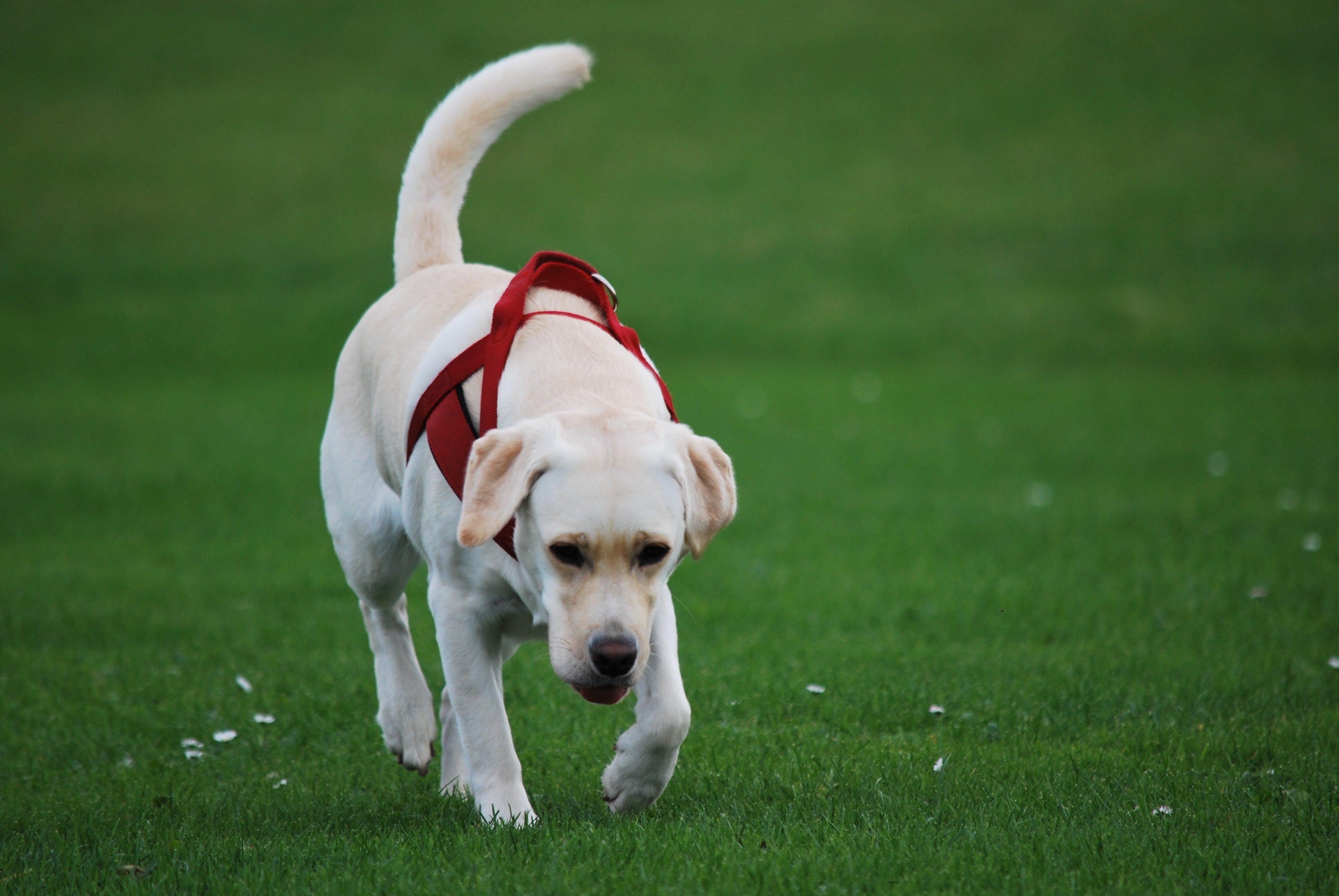 Free stock photo of animal, dog, labrador, white