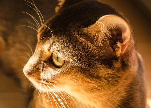 Ilmainen kuvapankkikuva tunnisteilla abessinialainen, eläin, eläinkuvaus, katsominen
