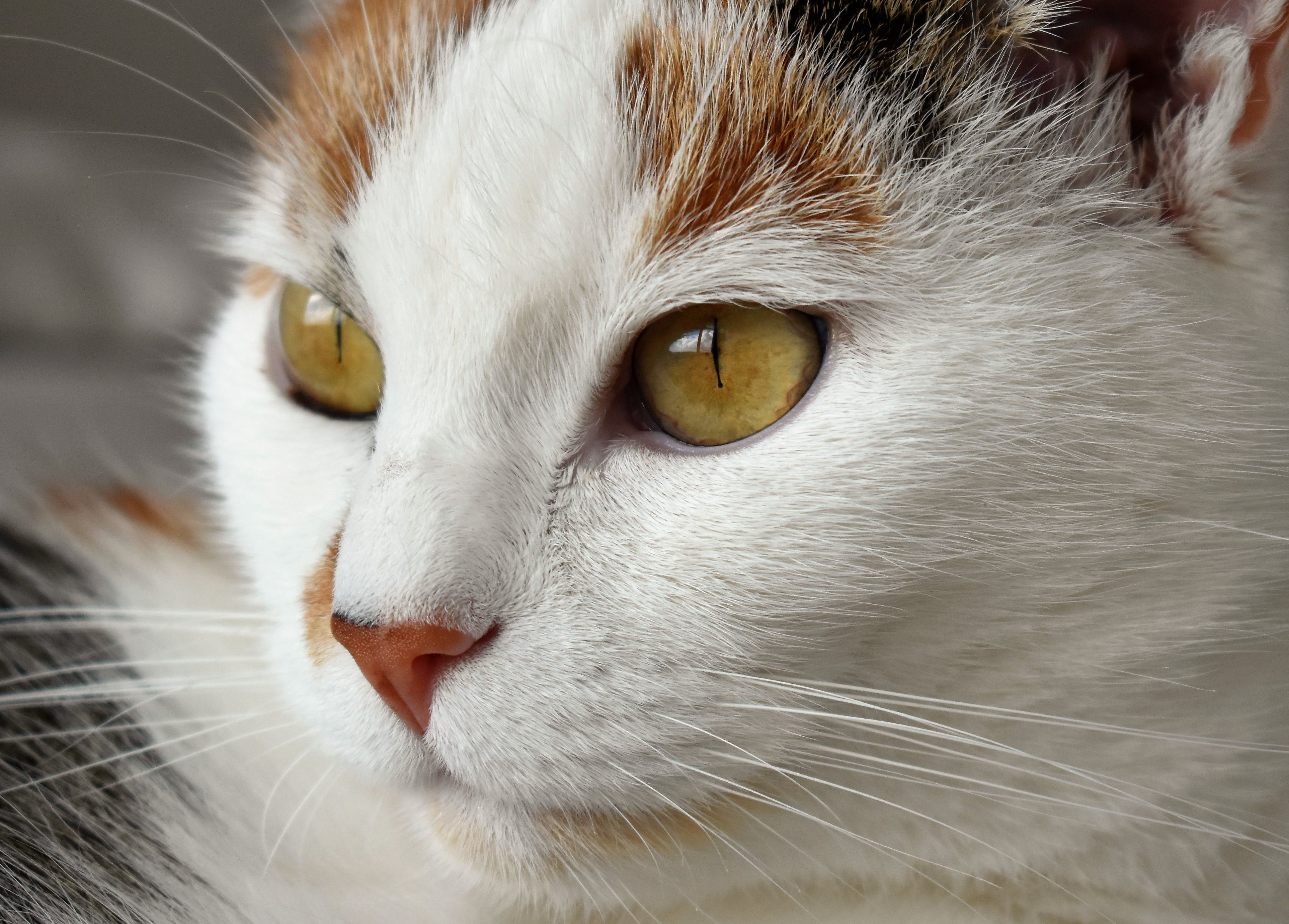 Closeup Photography of White, Brown, and Black \cat