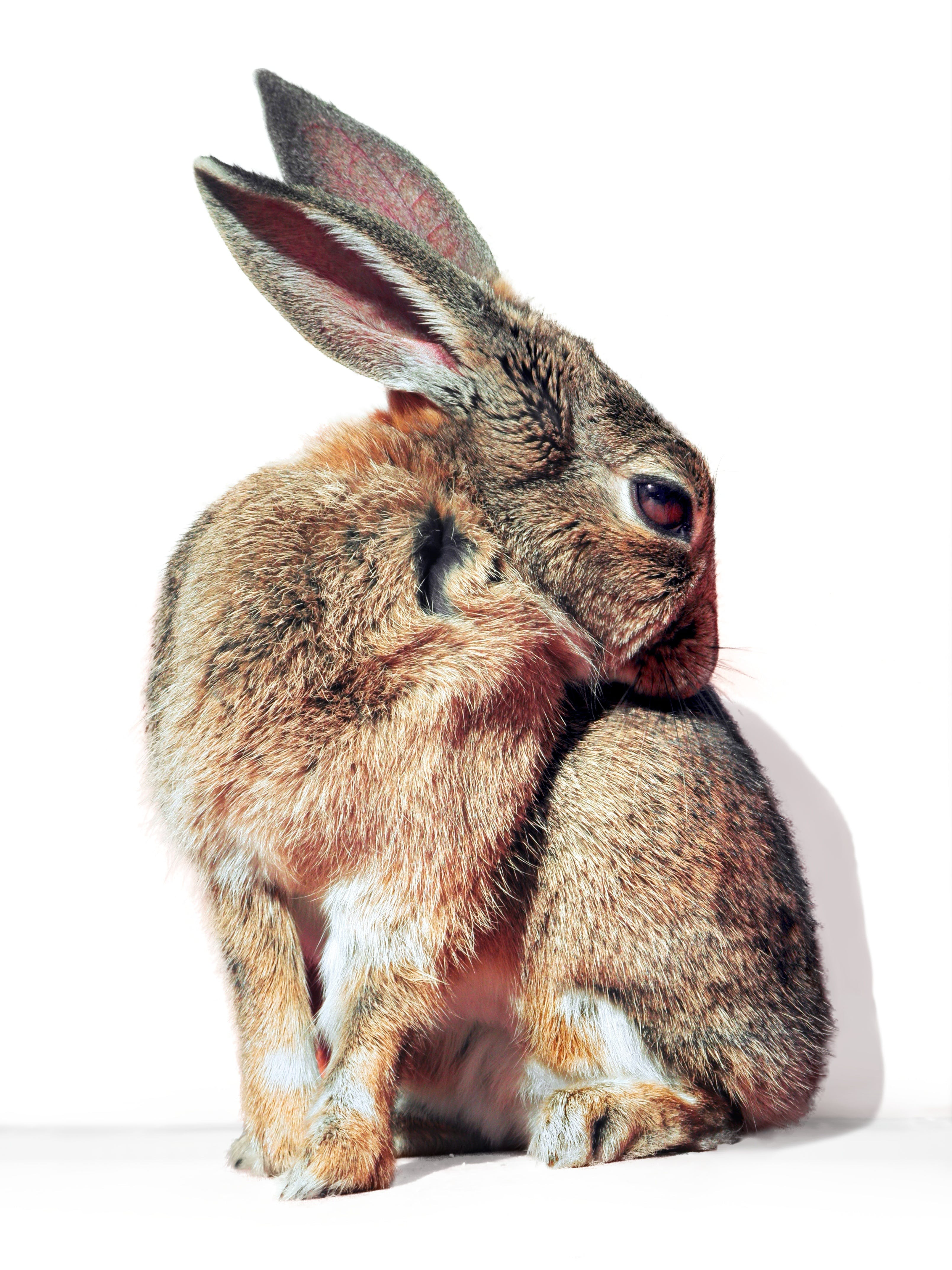 Brown and Gray Rabbit
