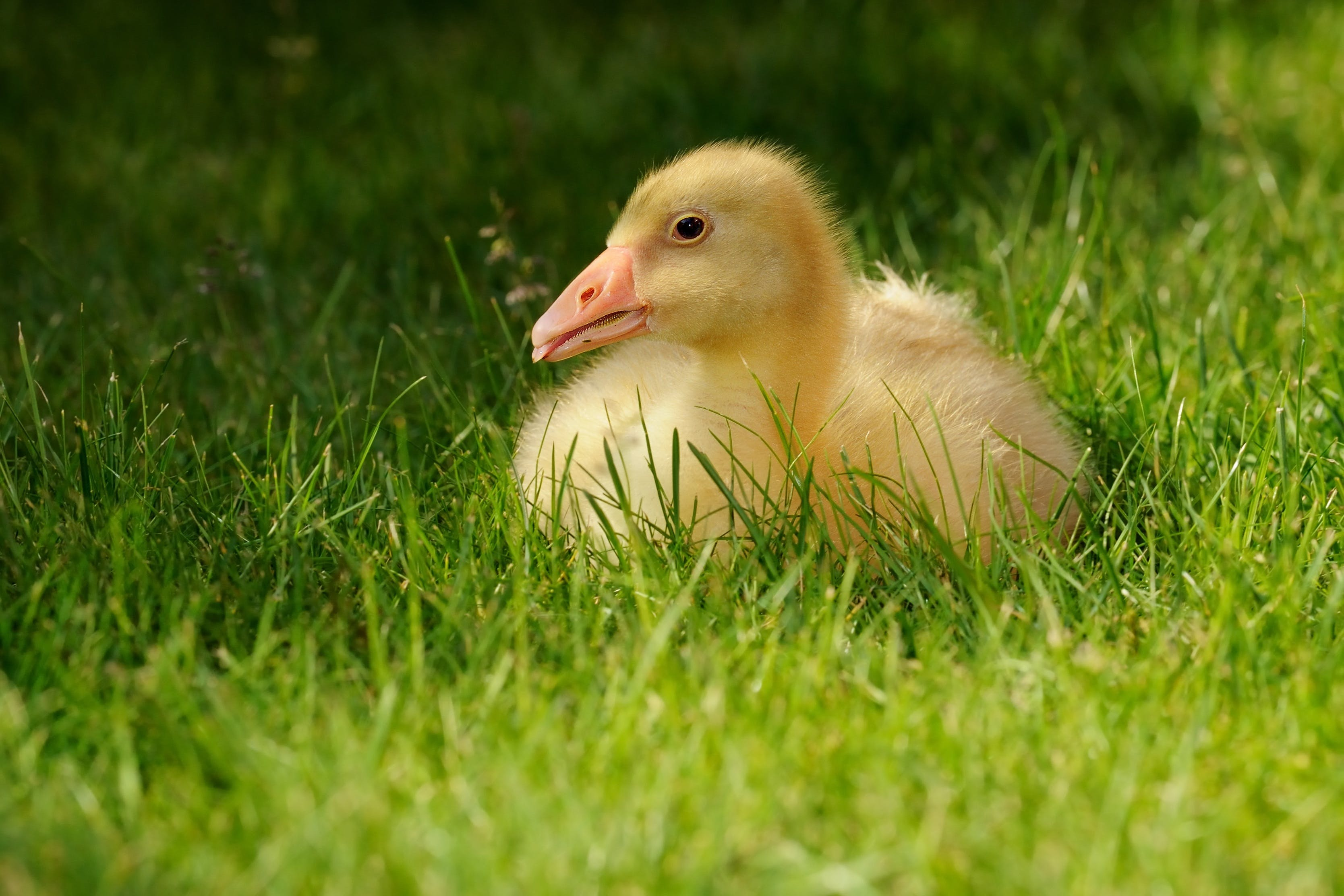 Yellow Duck on Green Grass Field