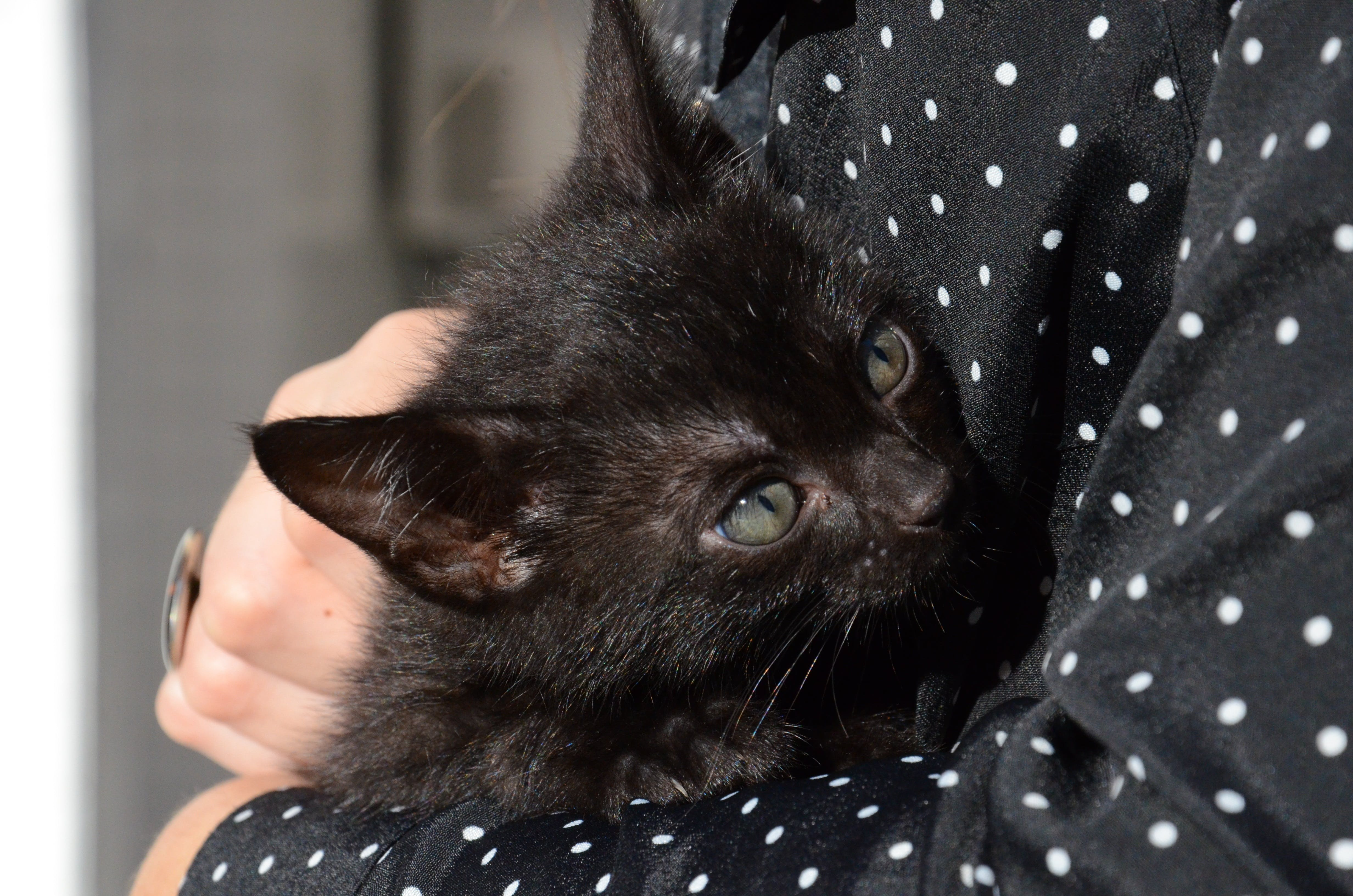 Black Cat on Person's Arm