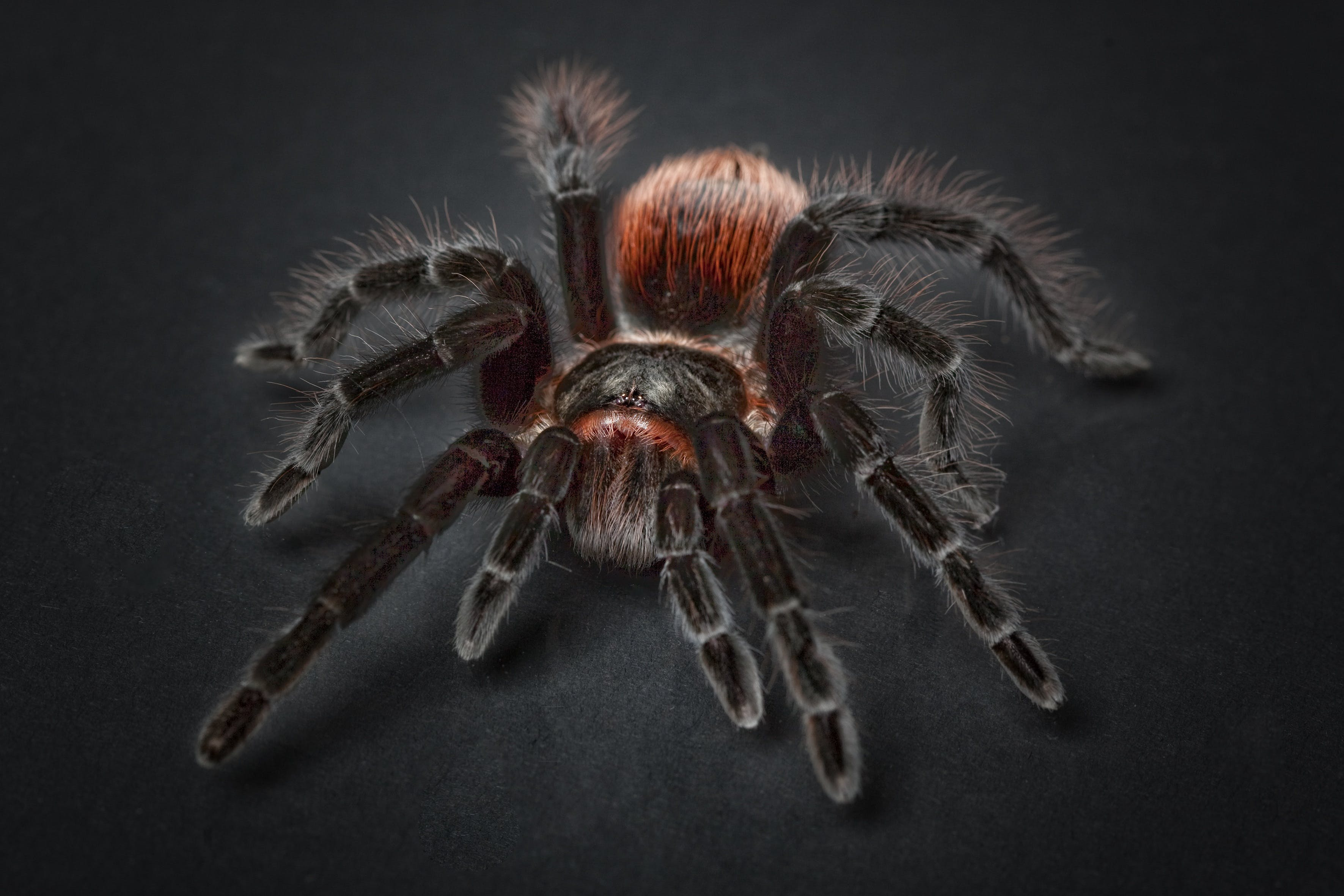 Black and Orange Tarantula