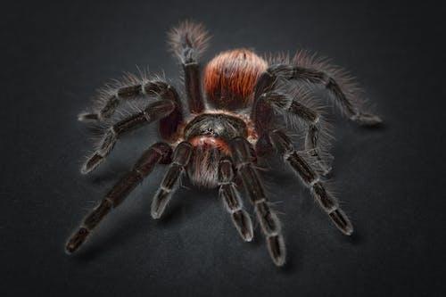 Foto d'estoc gratuïta de animal, aràcnid, aranya, esborronador