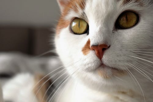 Short-fur White and Orange Cat Close-up Photo