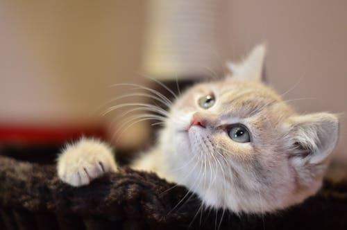 かわいらしい, ひげ, キティ, ネコの無料の写真素材