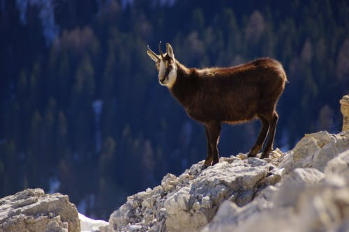 Brown Goat on Mountain