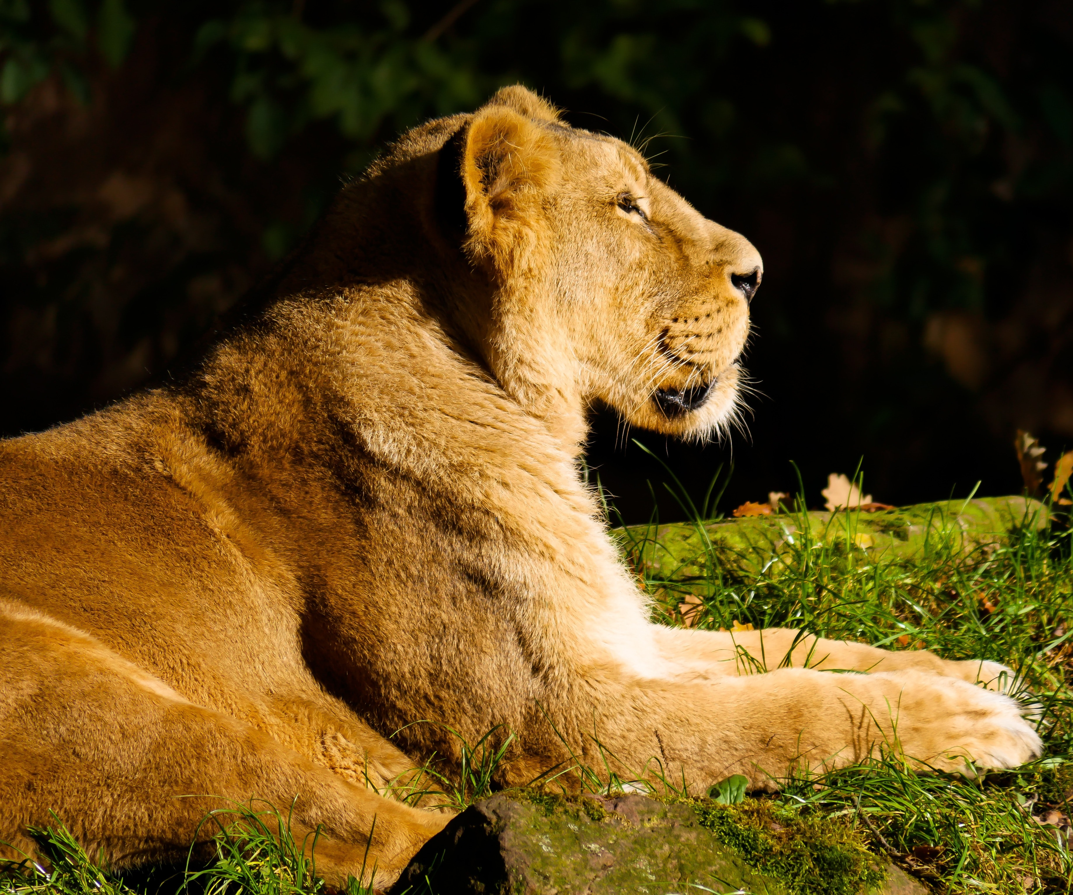 Gray Lioness 183 Free Stock Photo