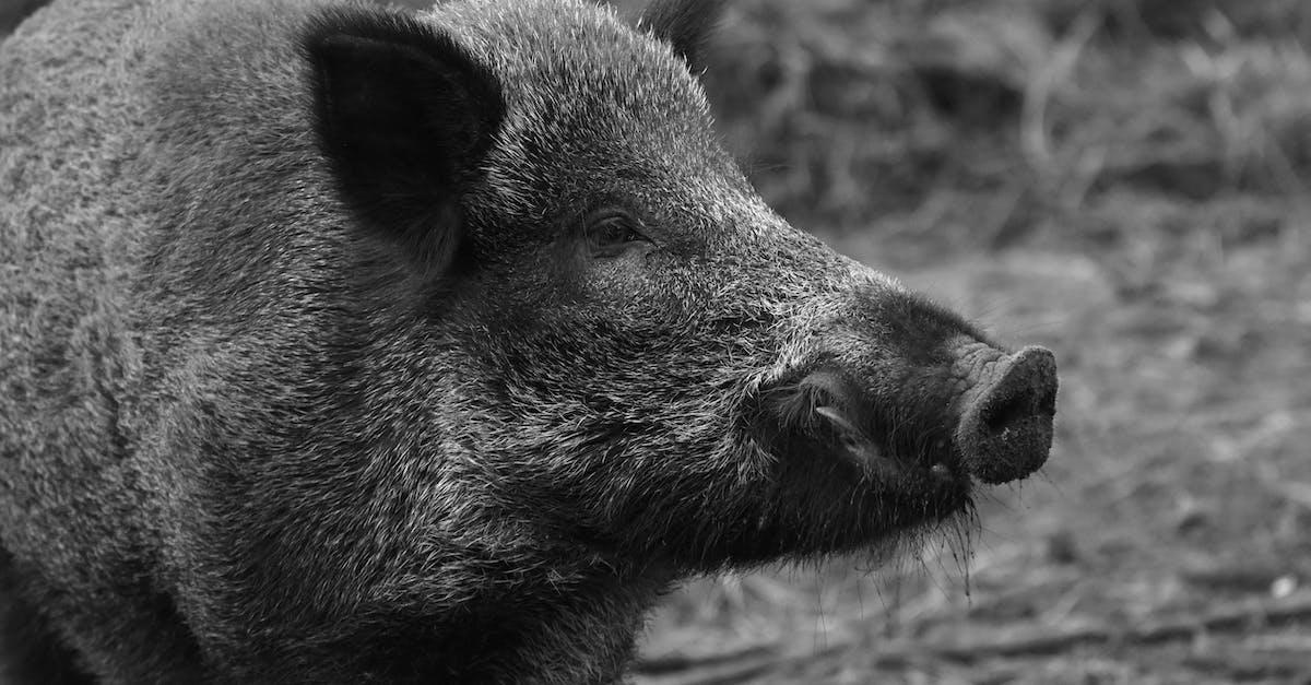 Black Boar · Free Stock Photo