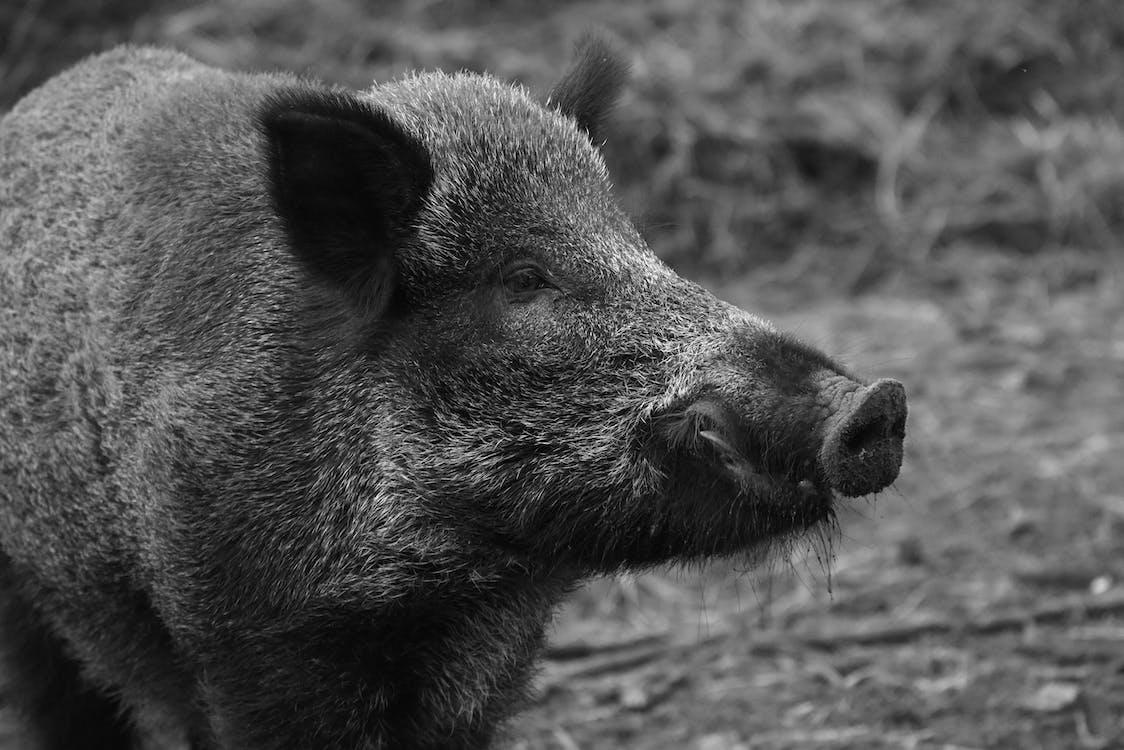 Black Boar