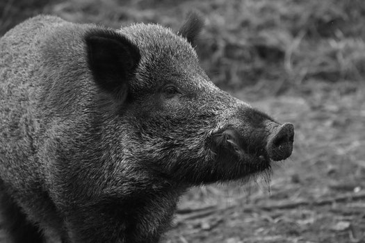 Free stock photo of black-and-white, animal, wildlife, pig