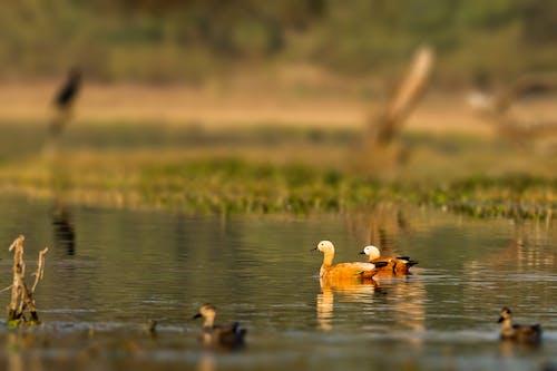 Free stock photo of animals, bharatpur, birds