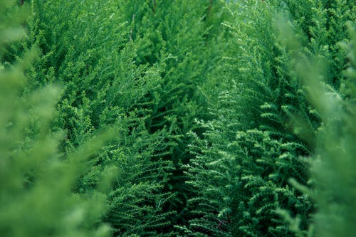 Photos gratuites de à feuilles persistantes, arbre, arbres, centrale