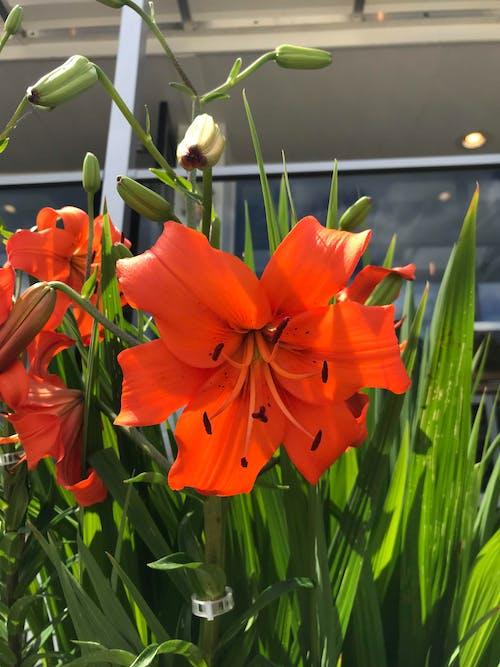 Immagine gratuita di bel fiore, emerocallide, fiore, fiore arancione