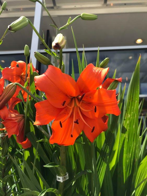 Ημεροκαλλίς, κρίνος, λουλούδι