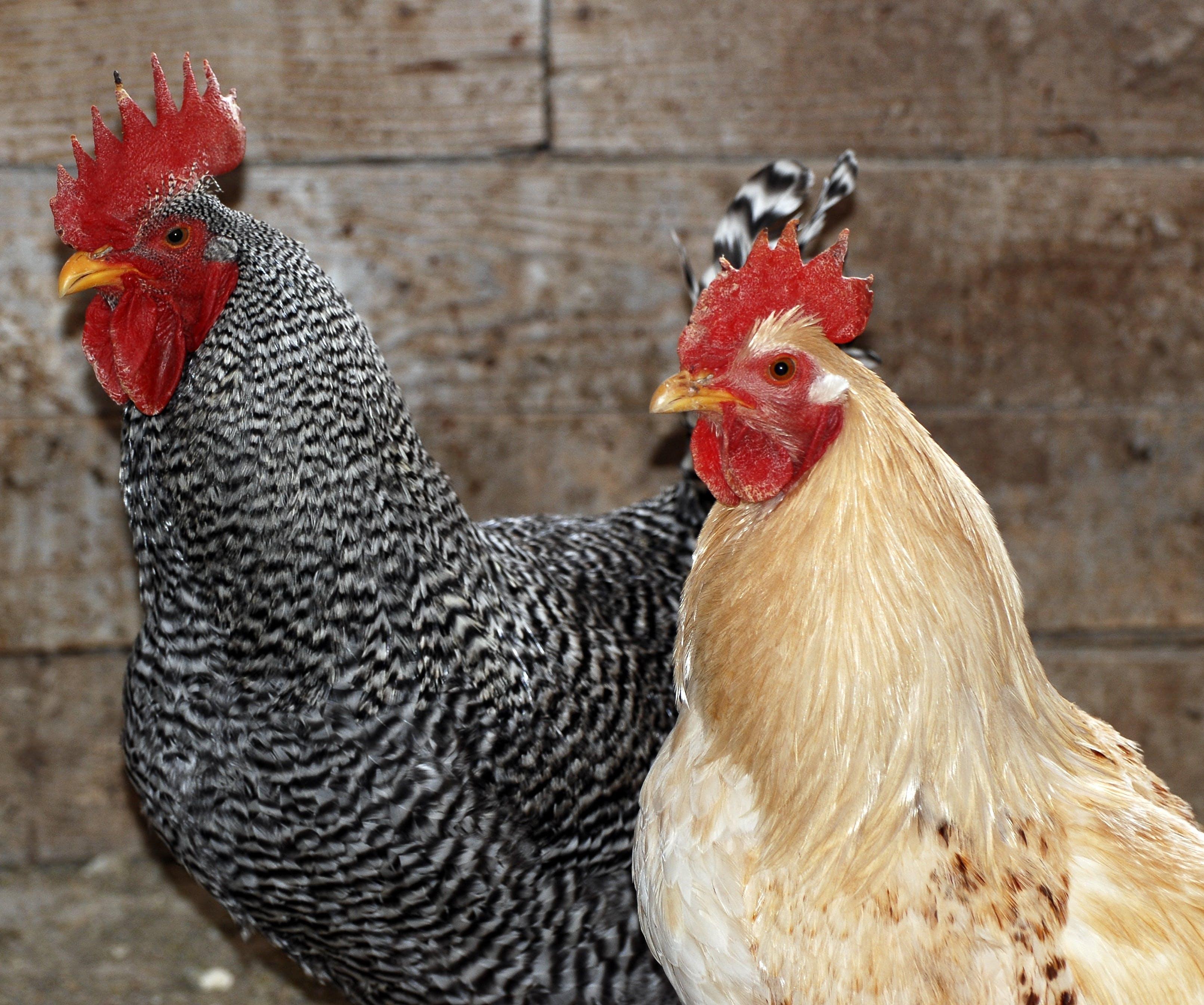 Free stock photo of agriculture, animal, beak, bird