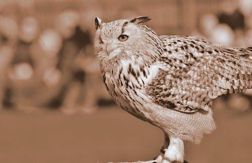 คลังภาพถ่ายฟรี ของ นกล่าเหยื่อ, นกฮูก