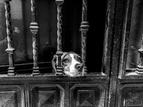 Cute Beagle dog looking out through lattice