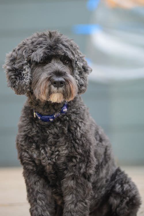 Close-up Photo of a Spanish Water Dog Sitting on Ground