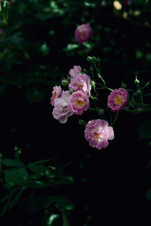 Gratis stockfoto met bloeiende rozen, Rode roos, zomer steeg