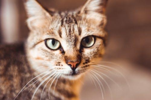 灰色虎斑小貓