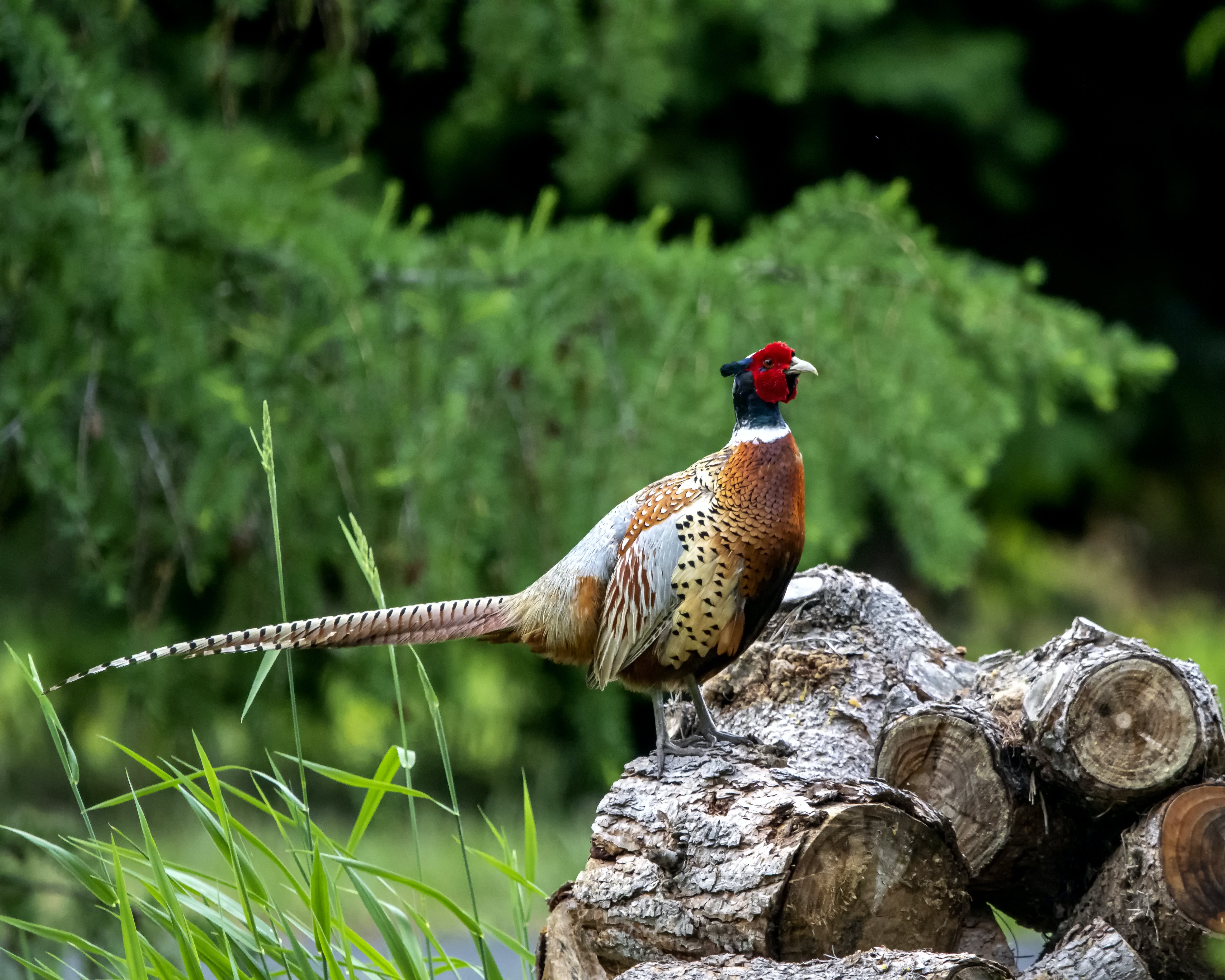 Free stock photo of bird, green, pheasant