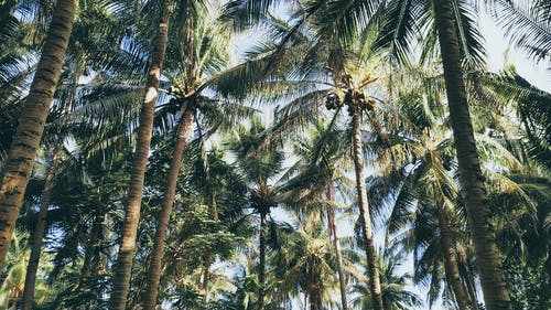 Green Coconut Tree Lot