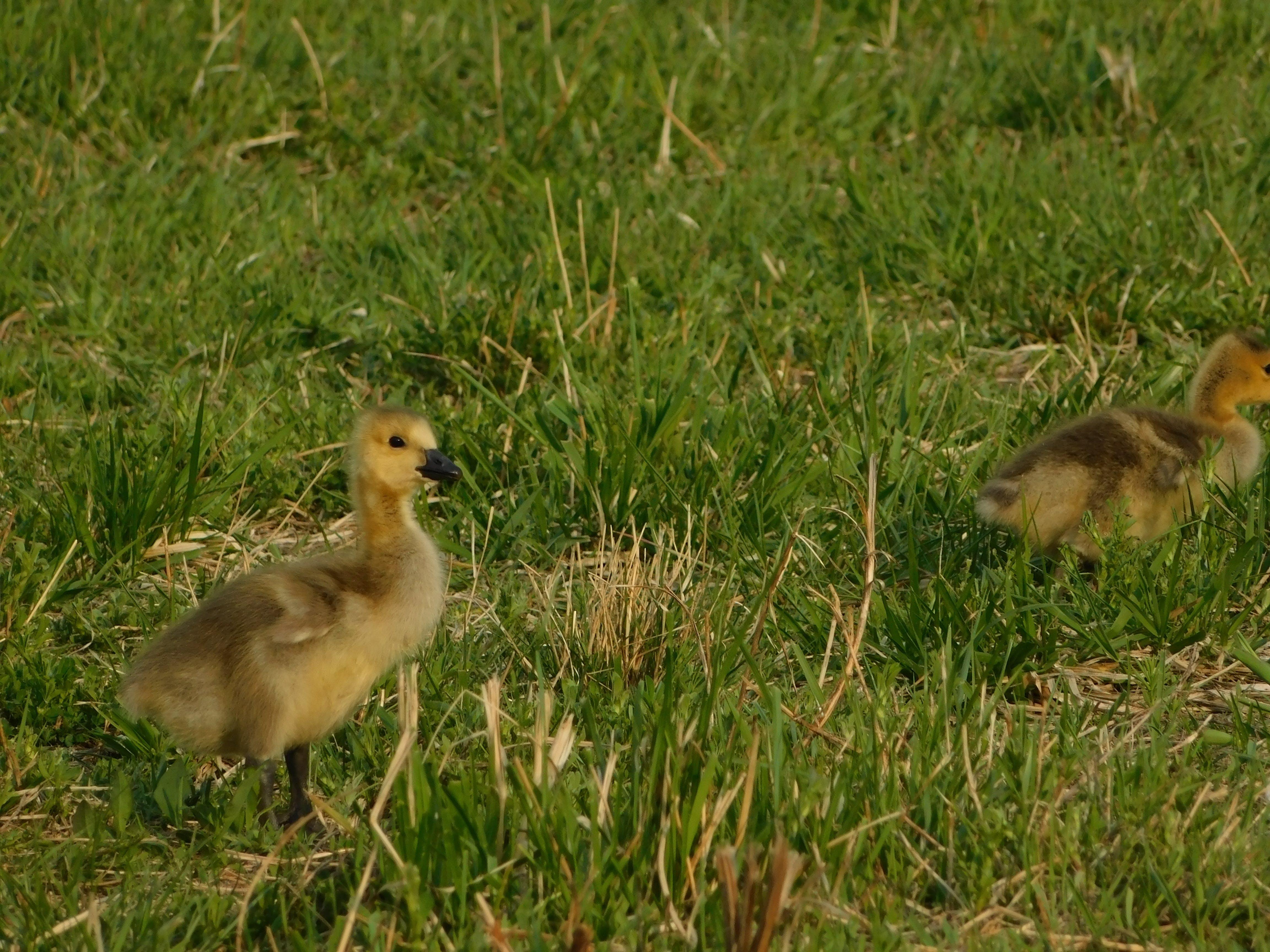 かわいい他の - 家禽の無料の写真素材