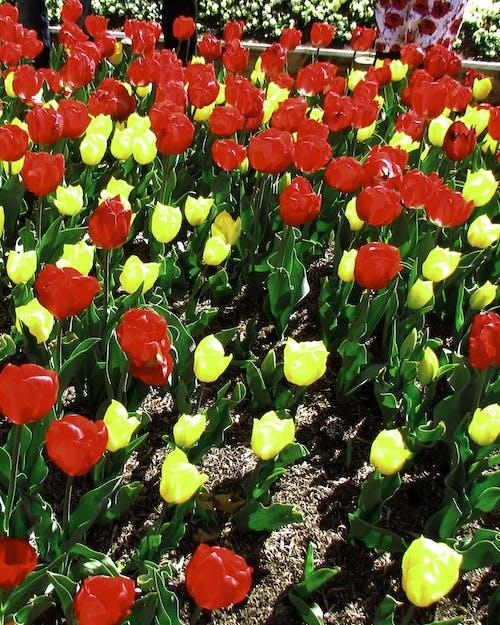 Základová fotografie zdarma na téma jasné barvy, květiny, tulipány