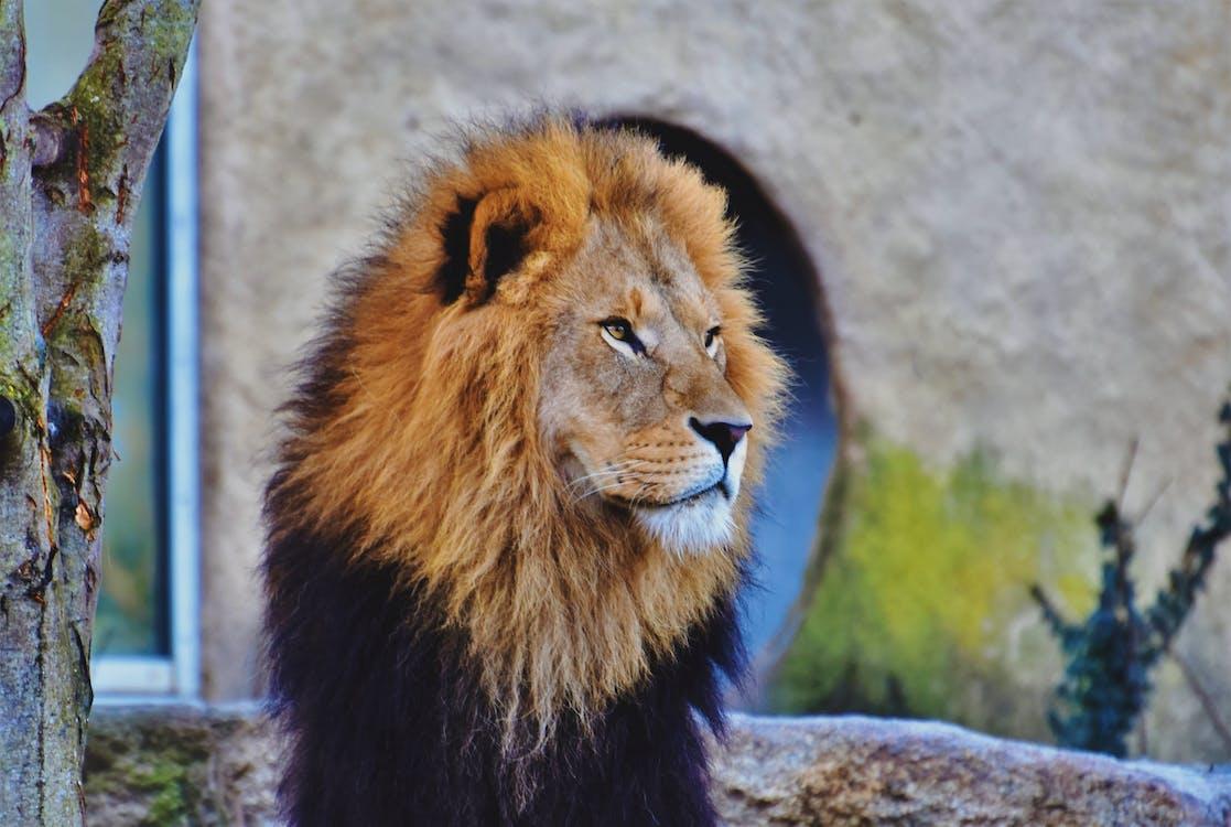 นักล่า, สิงโต, แผงคอ