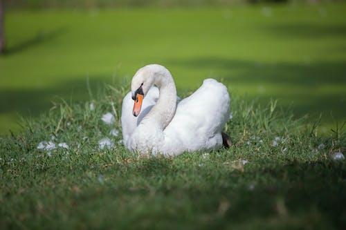 Free stock photo of bird, green, nature, swan