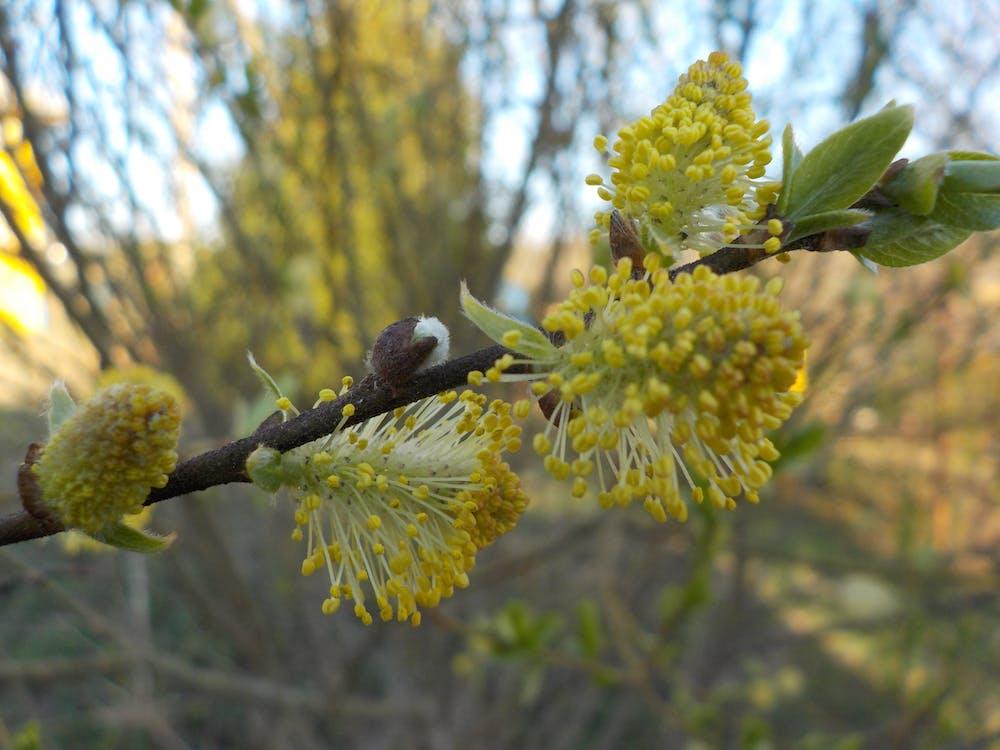 salix, весна, пружина