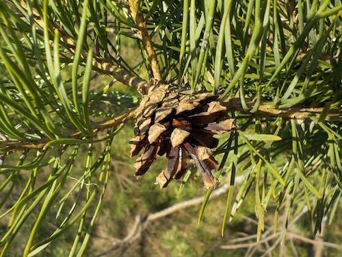 Gratis lagerfoto af fyrretræ, kegle, pinus
