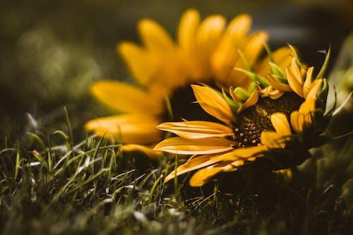 Foto stok gratis berkembang, bidang, bunga matahari, bunga-bunga