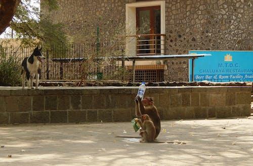 Бесплатное стоковое фото с обезьяны утоляют жажду летом